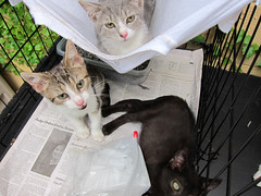 Angry, humid kittens (Jimmy Legs) Tags: street cats kittens event bushwick adoption muddypaws adoptable