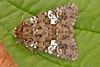 2172-DSCN2568 White Spot (Hadena albimacula) (ajmatthehiddenhouse) Tags: hadeninae noctuidae moth hadenaalbimacula hadena albimacula whitespot 2011 uk kent stmargaretsatcliffe garden