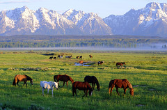 Horses at sunrise (Deby Dixon) Tags: trees horses snow mountains tourism fog sunrise landscape photography morninglight nationalpark travels nikon scenery view earlymorning adventure pasture valley snakeriver wyoming tetons wildwest deby equine allrightsreserved roundup grandtetonnationalpark 2011 trianglexranch horseranch debydixon debydixonphotography