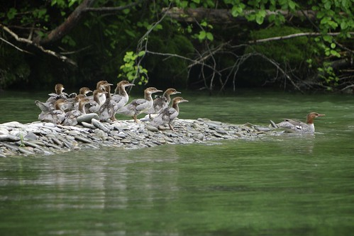 Merganser duck with fourteen juveniles