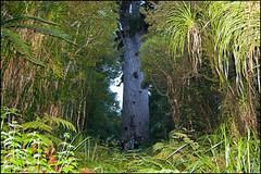 The Waipoua Forest, Tane Mahuta (Lord of the forest) the largest Kauri tree in New Zealand