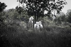 Camargue horses pursuit (koalie) Tags: horse field animal stallion mares gallop camargue photoclub saintesmariesdelamer mybw camarguehorse d38