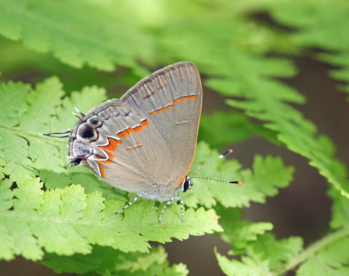 Red-banded Hairstreak by Corey Husic