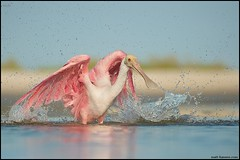 Explosion (www.matthansenphotography.com) Tags: ocean pink bird beach nature water beautiful animal wings pretty action wildlife explosion bathing splash avian tidalpool plumage roseatespoonbill wadingbird plataleaajaja notaflamingo matthansen