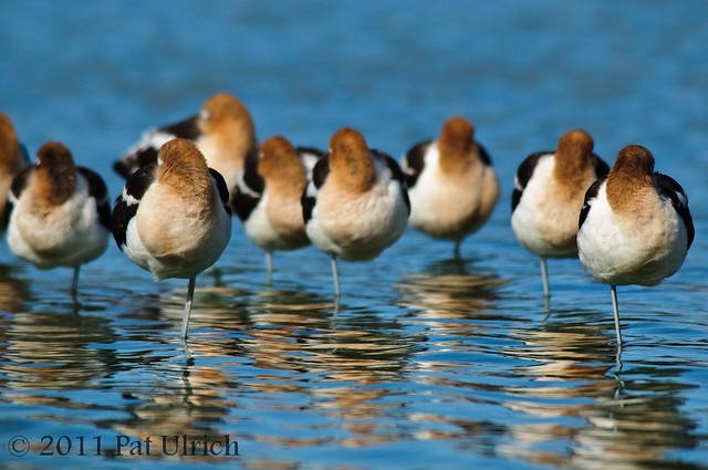 Avocets tucked in