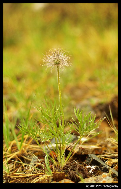 Mountain Avens (Dryas octopetala) Seedhead