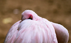 Shy 1 (gulfman1) Tags: pink bird eye look animal canon intense soft flamingo shy mysterious mistery flickraward