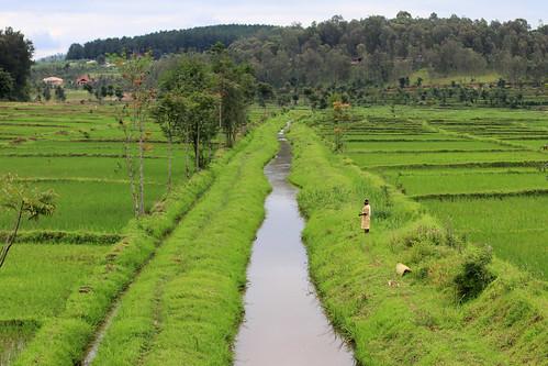 Rwanda Rice Paddies