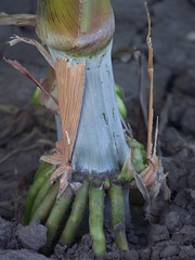 Raiz del Pampa Centurion (deliaanzaldua) Tags: silo alimento sorgo inc grano calidad ganaderia agricultura forraje forrajero anzuseed pampaverde pampacenturion anzubrothers granoblanco