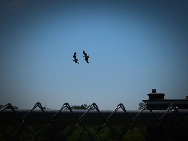 the osprey in flight