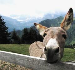 Il mulo pacioso (OlivieroToscaniDeiPoveri) Tags: portrait mountains verde green nature animal switzerland funny suisse ears svizzera montagna ritratto mulo muso emule orecchie altaquota narici pacioccone pacioso