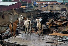 Goats Looking at Burnt-Out Market, Harar, Eastern Ethiopia