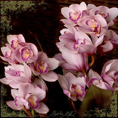 Barbara (Martha MGR) Tags: pink flowers nature orchids orquídeas flôres mmgr canoneosdigitalrebelxs saariysqualitypictures marthamgr 3msroyalflowers marthamariagrabnerraymundo marthamgraymundo