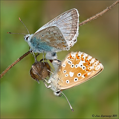 05082011-_DSC0077 (Lino Sgaravizzi ) Tags: macro ngc natura insetti farfalle valtiberina mygearandme mygearandmepremium mygearandmebronze mygearandmesilver mygearandmegold mygearandmeplatinum mygearandmediamond