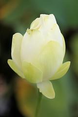 Parc floral 03.08.11 045 (MUMU.09) Tags: flores flower de photo foto lotus flor petal da  bild blume fiore  virg imagem  petalo  kwiat   flori ptalos  bltenblatt ptala        fiorediloto hoasen  flordeloto  lotusblomma floweroflotus   lotosblume fleurdelotus     ltuszvirg kwiatlotosu      lotusblomst lotusblth lotusblm   lotosovkvt lotusiei mumu09