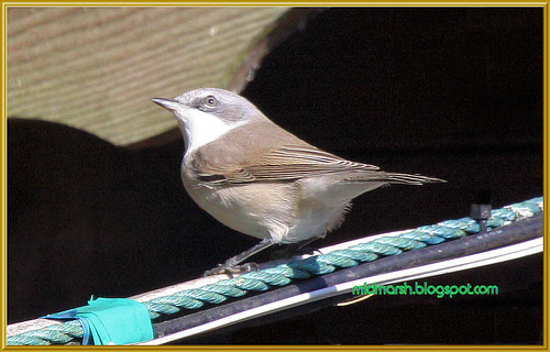 Lesser Whitethroat 1b