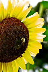 Aug072011_0891-Bumble-Bee (©Delos Johnson) Tags: flowers canon garden sunflower topaz delos g9 detail4 denoise