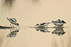0401-6107 (Peter Warne-Epping Forest) Tags: book avocet 2011 recurvirostra avosetta greatphotographers bwpa
