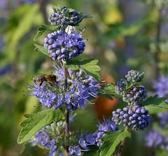 Bartblume / bluebeard (Caryopteris x clandaensis) (HEN-Magonza) Tags: flora bartblume bluebeard caryopterisxclandaensis