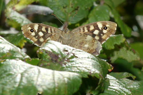 Sunlight Through A Speckled Wood by julian sawyer
