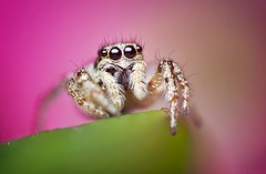 Zebra Spider (yeatzee (Officially an adult, but still learning)) Tags: 56 elnikkor50mmf28 zerenestacker