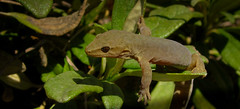Short-Toed Gecko 3 (ROCKnVOLE Photography) Tags: newzealand mountain humboldt reptile lizard alpine otago gecko southland fiordland shorttoed woodworthia southernmini