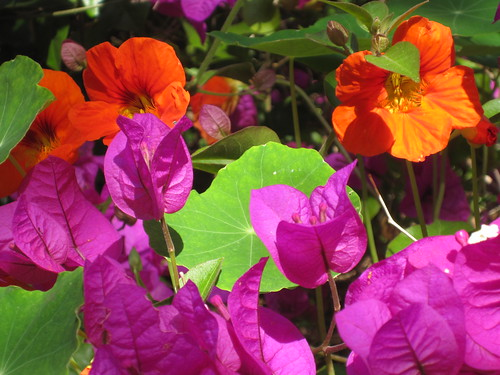 nasturtium and bougainvillea