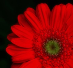 Red - Explored! (@mons.always) Tags: flowers red flora nikon gerbera coonoor d90