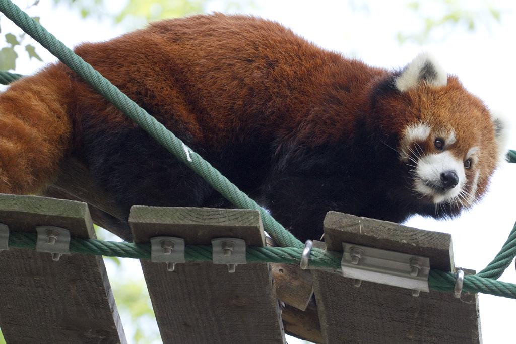 lesser panda @Asahiyama Zoo