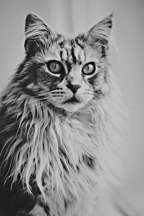 Portret kota - Coona