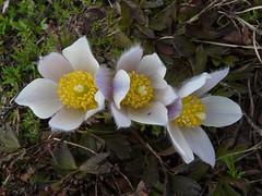 Pulsatille du printemps=Pulsatilla vernalis - Sampeyre 067