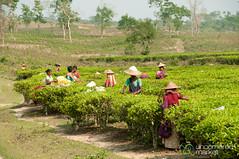 Tea Pickers at Finlay Tea Estate - Srimongal, Bangladesh (uncorneredmarket) Tags: people women bangladesh teagardens teaestates aes srimongal teaplantations teapickers sylhetdivision sreemangal bangladeshtea finlaytea