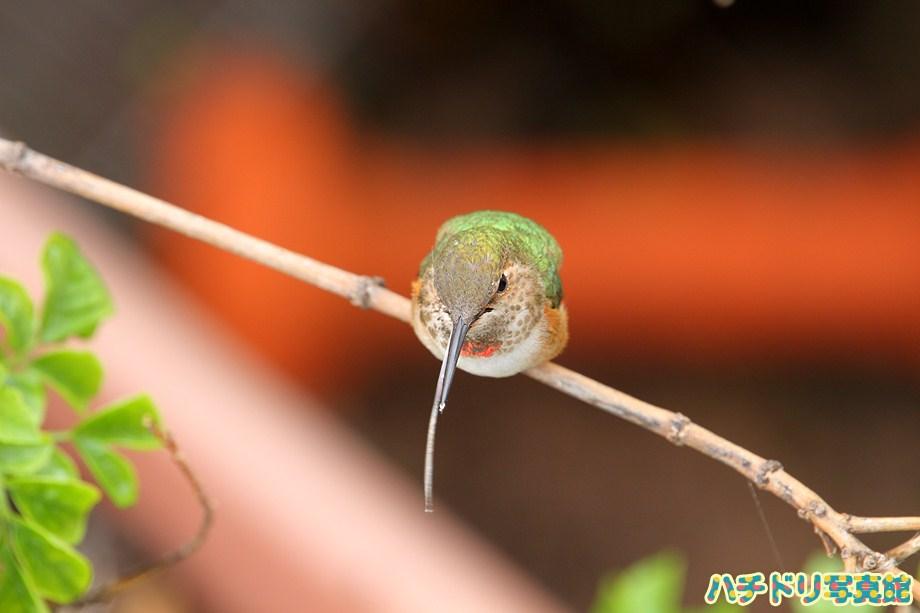 Allen's Hummingbird 071211