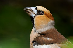 Hawfinch (Coccothraustes coccothraustes) (m. geven) Tags: bird nature animal fauna feathers drinking natuur veer drinken nm dier oiseau avian vogel oiseaux achterhoek songbird avifauna natuurmonumenten gelderland scarce fringillidae montferland badderen nld wassen veren pluim passerine zangvogel hawfinch kernbeisser grosbec coccothraustescoccothraustes forestbird gardenbird forestpond oostnederland bosvijver appelvink bergherbos tuinvogel vinkachtige gemeentemontferland schaars parkvogel bosvogel nederlandthenetherlandspaysbas