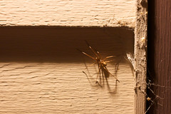 Spider! (Sans_Sanity) Tags: house giant spider creepy nighttime siding longlegs outisde spidergiantcreepynighttimelonglegssidinghouseoutisde