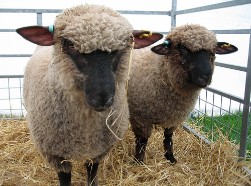 Shropshire sheep 2