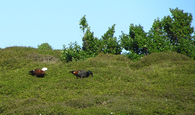 Kapiti Island Paradise Ducks