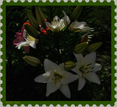 Moon Shadows (set) (Miss a Liss) Tags: nightphotography pink flowers orange white beauty night garden nikon lily stamp frame slowshutter moonlight picnik moonshadows