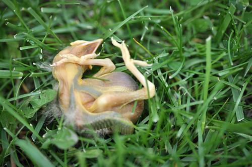 05/16/11 dead baby bird