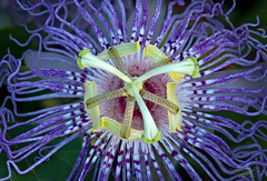 Purple Passionflower (top view)