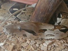 Boa Constrictor (erwachsenes Männchen)
