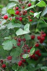 新治市民の森のナワシロイチゴ(Strawberry, Niiharu Community Woods, Yokohama, Japan)