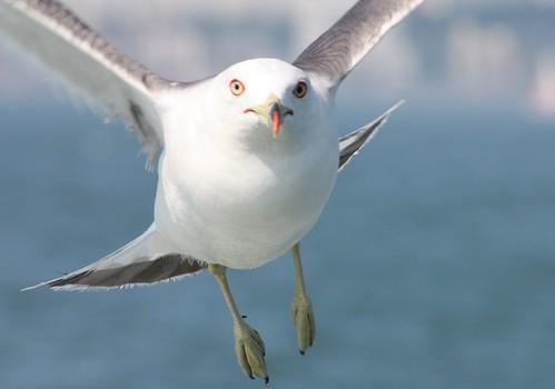 Seagull in Busan, South Korea