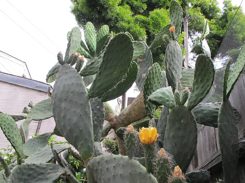 The Towering Prickly Pear
