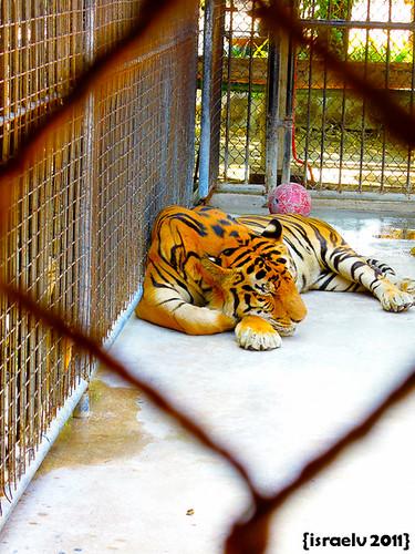 Sleeping Tiger by israelv