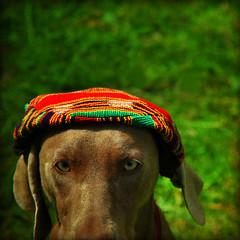 woof woof (1crzqbn) Tags: portrait dog sunlight color green texture hat square shadows bokeh goose weimaraner 7d shining woofwoof cityart artisticphotos coth hbw artdigital contemporaryartsociety bokehwednesday magicunicornverybest coth5 magicunicornmasterpiece 1crzqbn ldlportraits rastafariancap