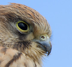 Macro Wild  Kestrel (Andrew H Wildlife Images) Tags: nature wildlife norfolk nwt kestrel cleymarsh ajh2008