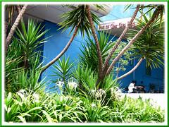 Landscaping with Yucca aloifolia (Spanish Bayonet) and Hymenocallis caribaea (Spider Lily)