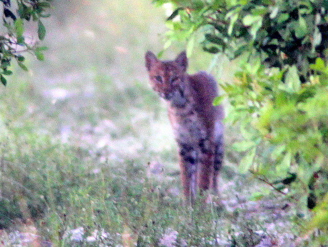 Bobcat 20110721
