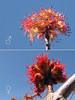 Red Maple Flowers (BlueRidgeKitties) Tags: red flower tree male female northcarolina acer stamen stigma blueridgeparkway redmaple acerrubrum aceraceae dioecious westernnorthcarolina swampmaple staminate pistillate sapindaceae southernappalachians ccbyncsa softmaple taxonomy:class=magnoliopsida taxonomy:order=sapindales taxonomy:kingdom=plantae taxonomy:genus=acer carpellate taxonomy:phylum=magnoliophyta taxonomy:binomial=acerrubrum canonpowershotsx10is taxonomy:common=redmaple polygamodioecious